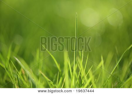 Closeup of spring green grass. Shallow focus depth on front blades of grass