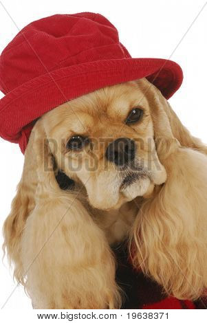 adorable cocker spaniel wearing red hat and plaid coat on white background
