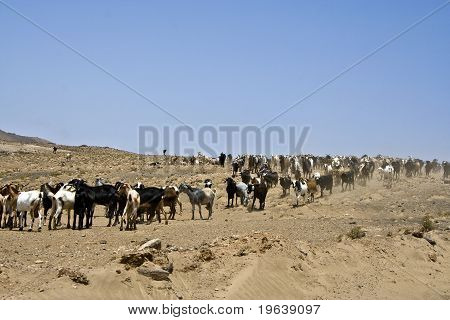 Flock Of Goats Near Arrecife