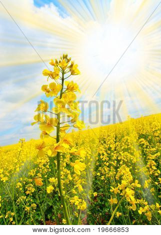 Rapeseed (Brassica napus) Rapeseed oil is used in the manufacture of biodiesel for powering motor vehicles. Biodiesel may be used in pure form in newer engines without engine damage.