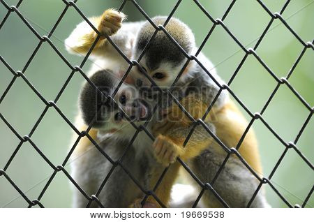 Pair Of Squirrel Monkeys Try To Get Into House, Costa Rica