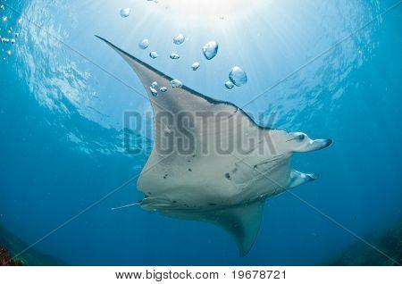 Soaring manta ray
