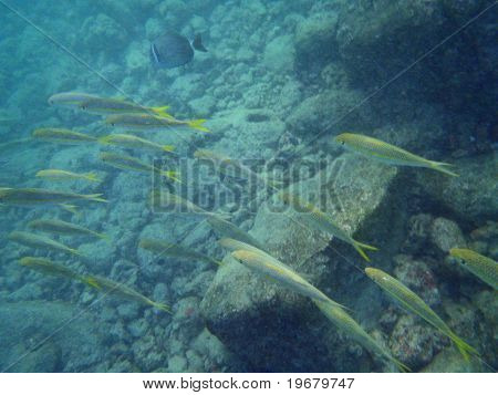 School Of Yellow Tailed Fish Swim By