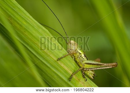 Roesels bushcricket