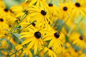 Echinacea Paradoxa, Yellow Coneflower,Flower,Field,Many,Group,Sunny ,Garden,Yellow,Summer,Perennial, poster