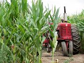 stock photo of corn stalk  - Red old tractor hiding in a corn field - JPG