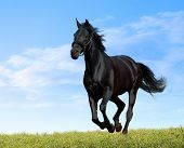 picture of running horse  - black horse - JPG