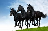 stock photo of troika  - Three black horses gallops - JPG