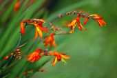 picture of crocosmia  - red crocosmia in autumn garden - JPG
