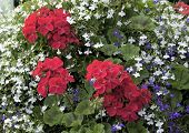 stock photo of lobelia  - View of red Geraniums nestling in amongst white Alyssum and blue Lobelia - JPG