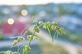 Close-up Plant Of Marijuana, Plant Top With A Kidney, Medical Marijuana And Cannabis Farm poster