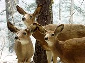 stock photo of deer family  - 3 deers staying alert in winter scene - JPG