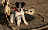 image of blue heeler  - Blue Heeler Pup sitting with lariat and boots