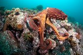 picture of octopus  - Giant octopus Dofleini underwater shoot deep  - JPG