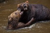 Kamchatka brown bears (Ursus arctos beringianus), also known as the Far Eastern brown bears fighting poster