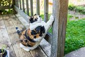 Calico Cat Scratching Nails On Scratch Post Outside In Outdoor Garden Backyard poster