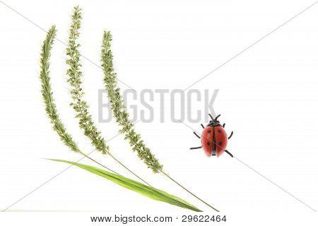 Ladybird and green foxtail