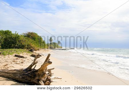 Driftwood Coconut Palm Trees Undeveloped Beach Corn Island Nicaragua