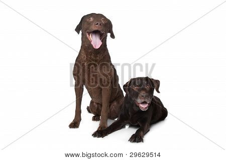 Chesapeake Bay Retriever And A Labrador