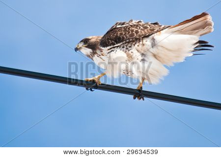 Red tailed Hawk am Draht