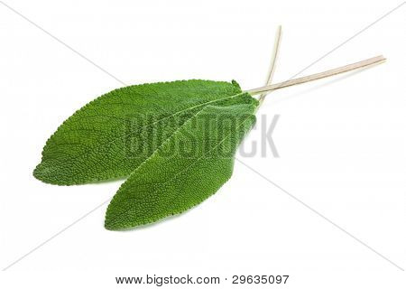 two fresh sage leaves isolated on white background