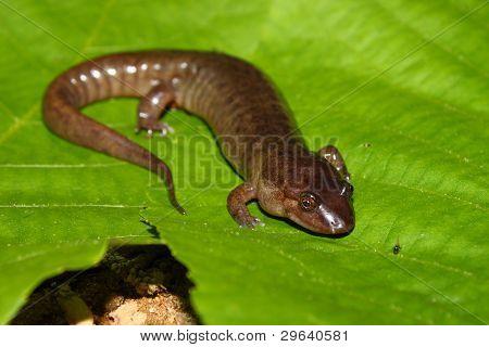 Dusky Salamander (Desmognathus conanti)