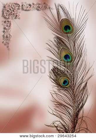 Peacock feather postcard
