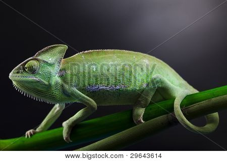 Dragon, Green chameleon