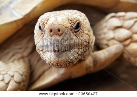 Portrait of a giant tortoise close up