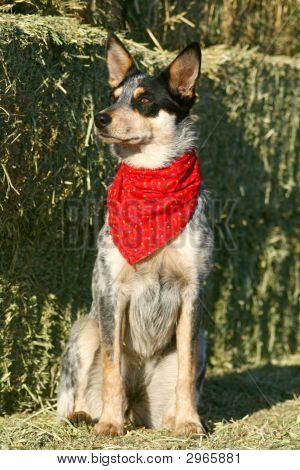 Heeler Pup 38