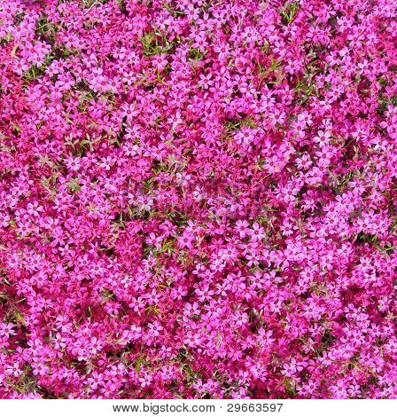Groundcover with hot pink flowers