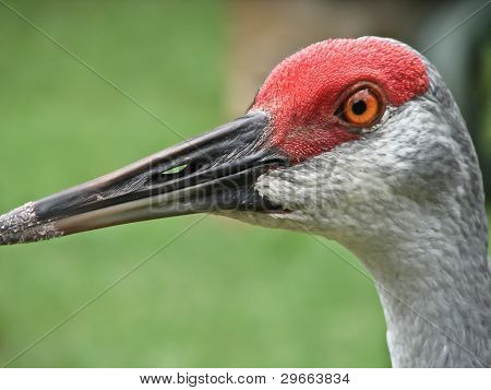 Portrait of sandhill crane