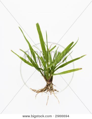 Plant In Petri Dish.