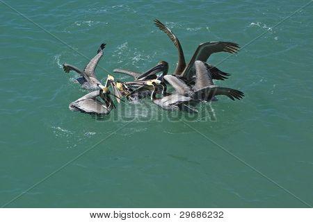 Brown Pelican (Pelicanus occidentalis) Feeding Frenzy