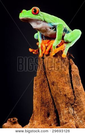 red eyed tree frog at night in tropical rainforest treefrog Agalychnis callydrias in jungle Costa Rica bright vivid colors