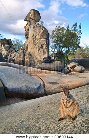 rock wallaby on rock formations tablelands queensland Australia a small kangaroo marsupial animal
