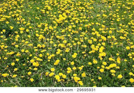 Flowered Field