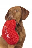foto of valentines day  - vizsla dog holding red heart shaped Valentine - JPG