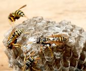 pic of hornet  - vespiary on the wall - JPG