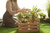 Woman Taking Care Of Plants Indoors, Closeup. Home Gardening poster