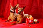 stock photo of miniature pinscher  - Miniature Pinschers on a red background - JPG