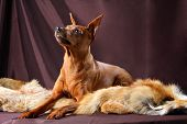 image of miniature pinscher  - The Miniature Pinscher  - JPG