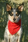 pic of cattle dog  - Blue Heeler puppy sporting a red bandana on hay bales - JPG