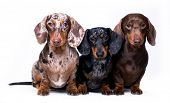 Dachshund dogs,  three dogs of different colors poster