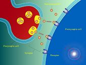 picture of neurotransmitter  - Illustration of the transfer of neurotransmitters in neuron cell synapse - JPG