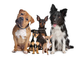 foto of border terrier  - group of five dogs sitting in front of a white background - JPG