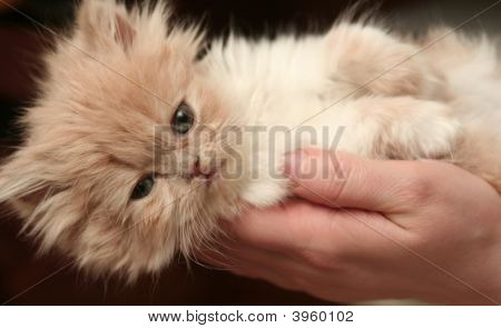 poster of Sight Of A Small Nice Fluffy Kitten
