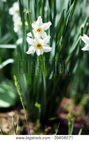 Closeup Of White Daffodil Flowers In The Garden