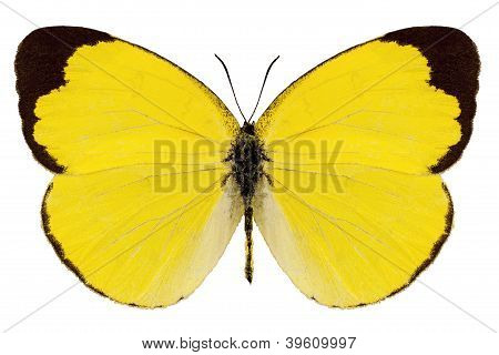 "Butterfly Species Eurema Alitha ""grass Yellow"""