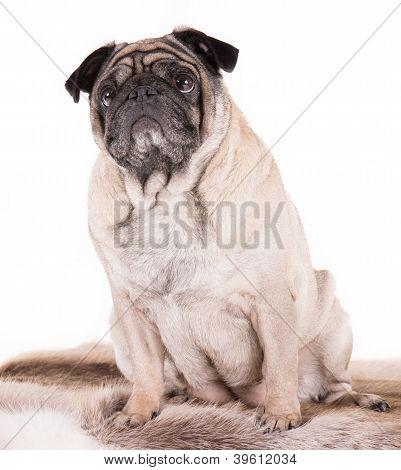 A Sitting Pug